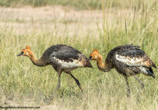 Grey crowned crane - chicks