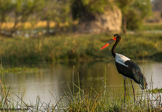 The saddle-billed stork -Female - Ephippiorhynchus senegalensis.