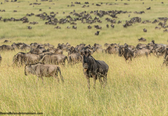 The Great Migration 2017 Kogatende Tanzania, Serengeti National park