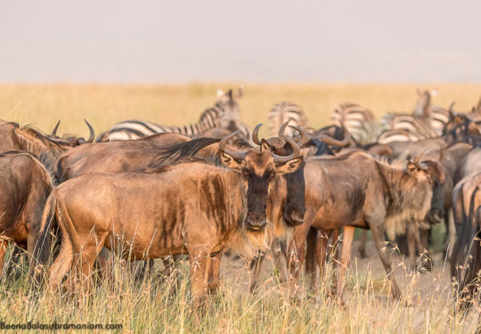 Wildebeest migration 2017 golden light