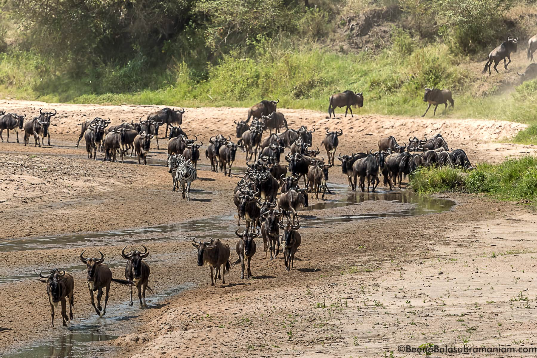 The herds in the sand river when there is no water