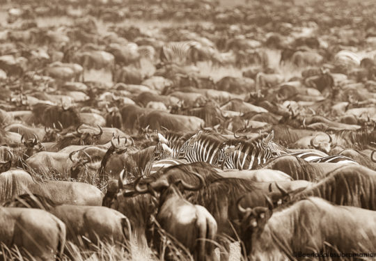 The mega herd in sepia