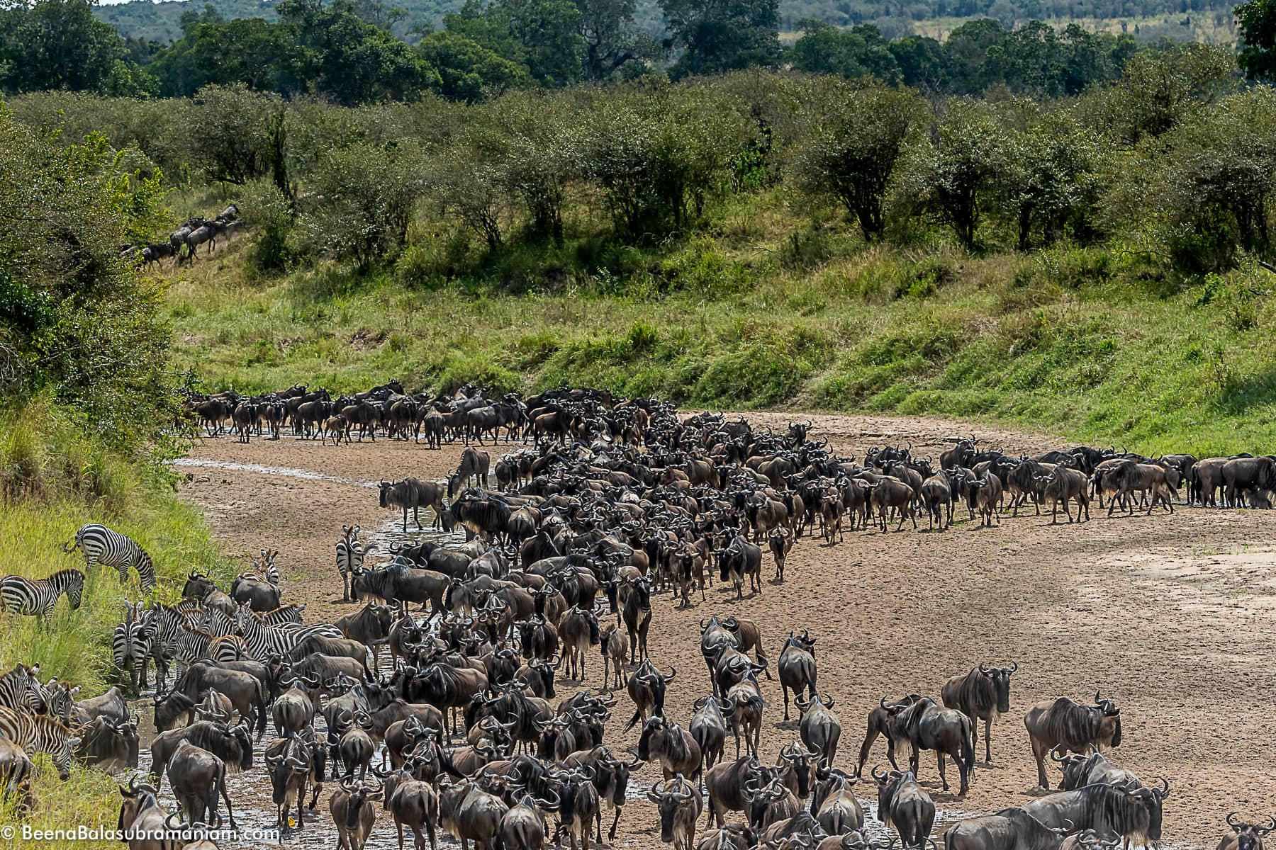 The herds in the sand river when there is no water -2