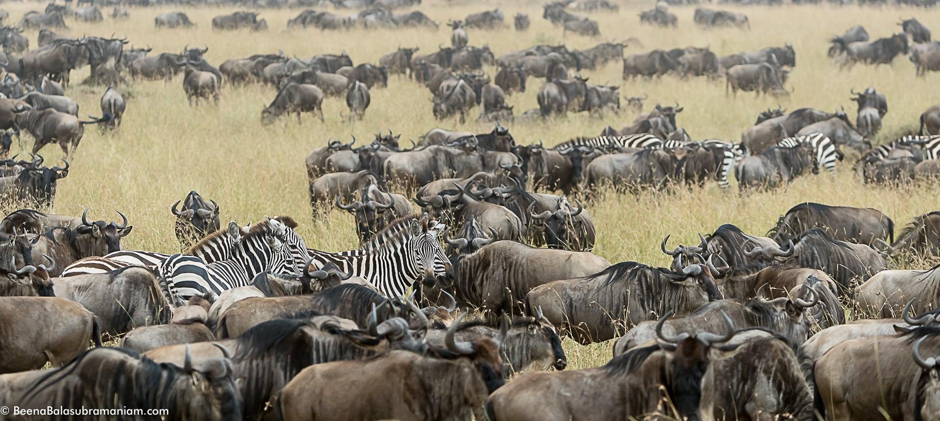 The mega herds at the Bologonja plains