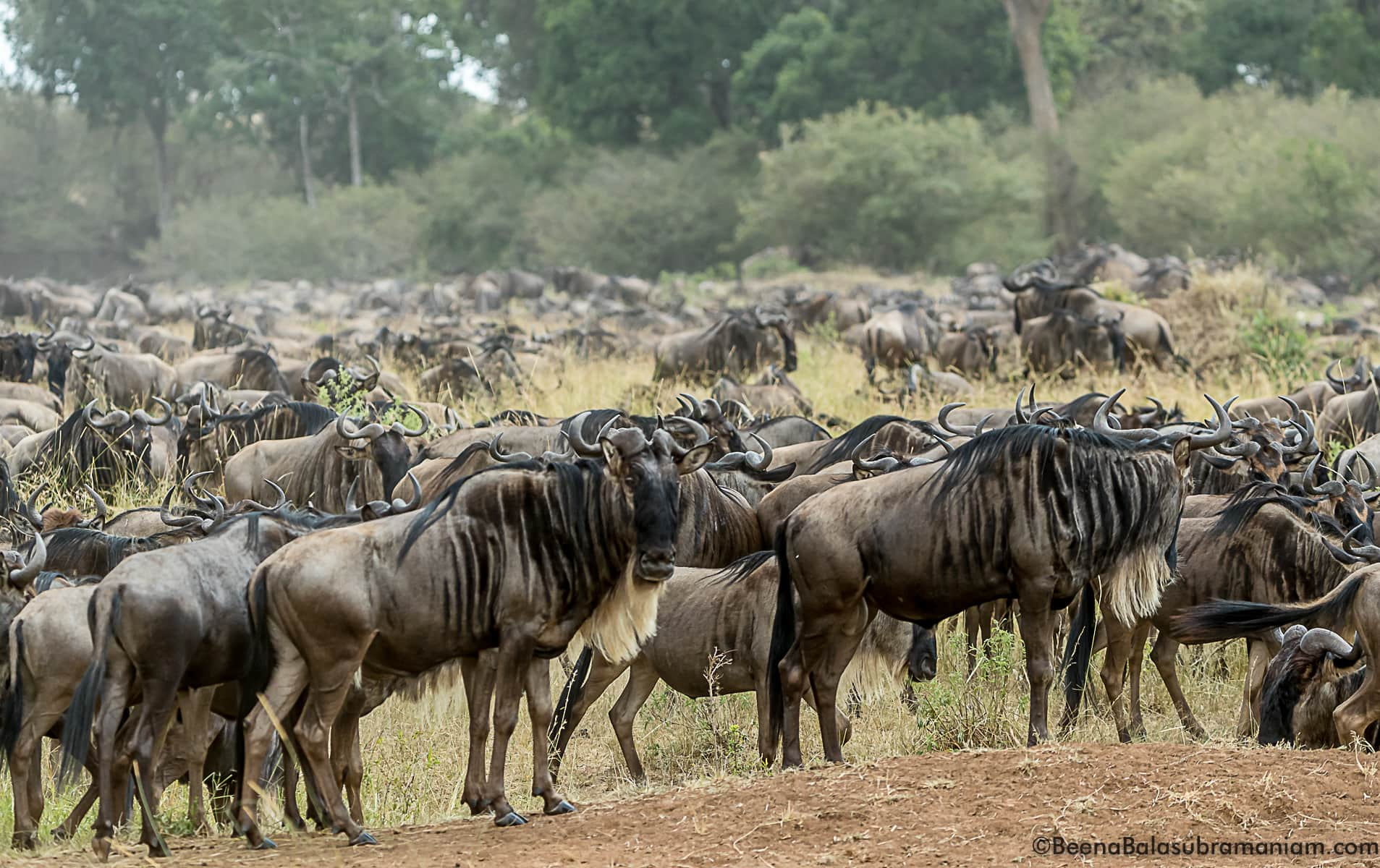 The Mega herds arrive and build up near the Sand River to cross into the Mara