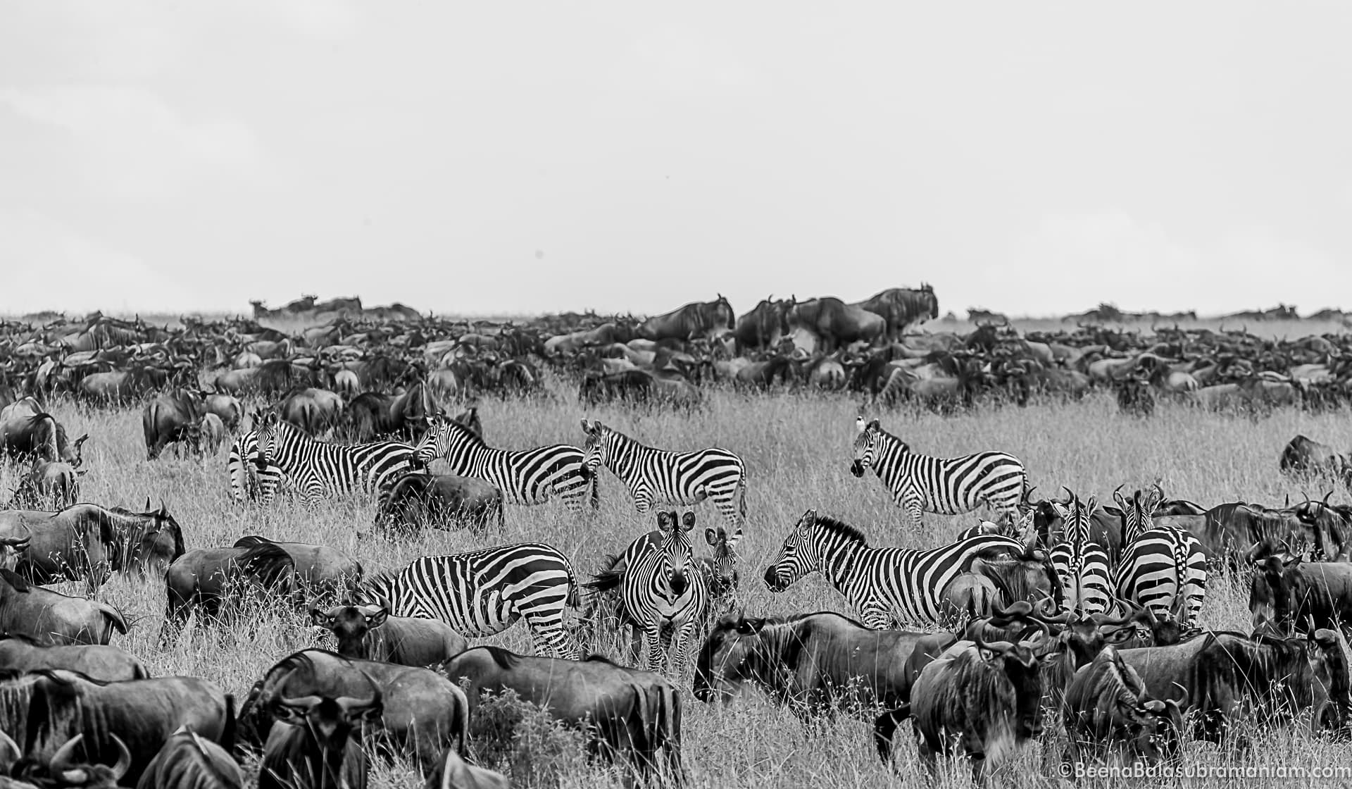 The zebras are prominent in the herds
