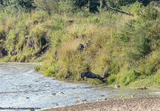 Migration from Kogatende `Serengeti National Park to the Masai Mara crossing the Sand River -1