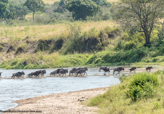 Migration from Kogatende `Serengeti National Park to the Masai Mara crossing the Sand River -2