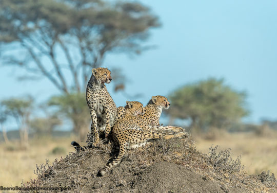 3 sub adult  cubs at Kusini plains serengeti