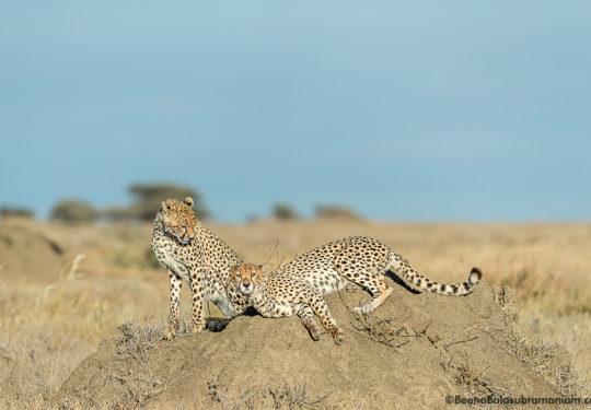 Cheetahs of Kusini