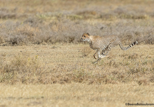 Cheetah sprint