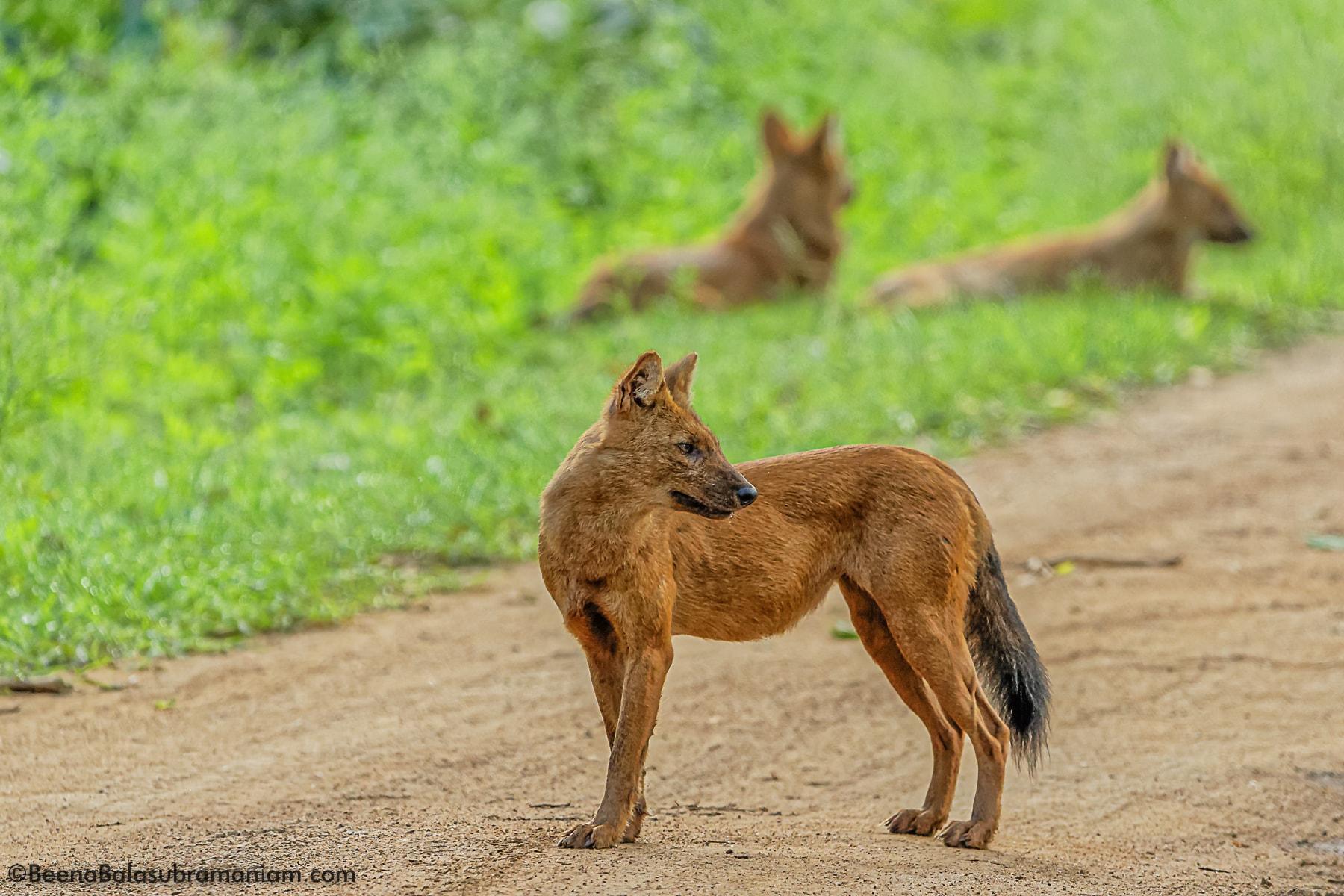 wild dog Dhole _ Kabini