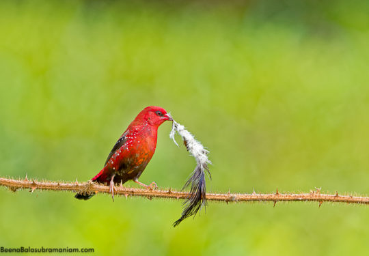 Red avadavat, strawberry finch -Amandava amandava