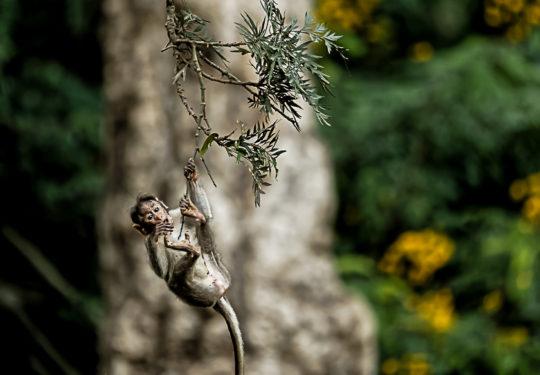 Baby Rhesus macaque