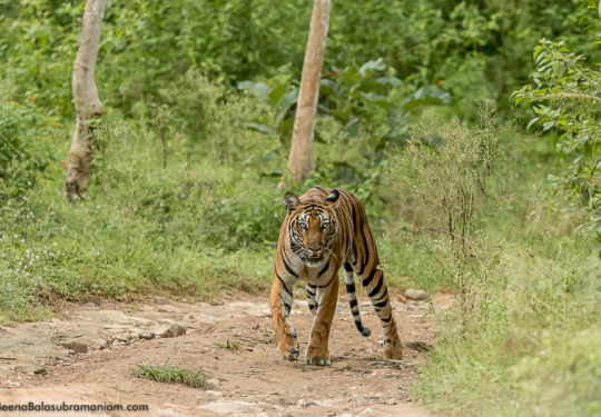 Russell line sub adult tigress in the monsoon greens