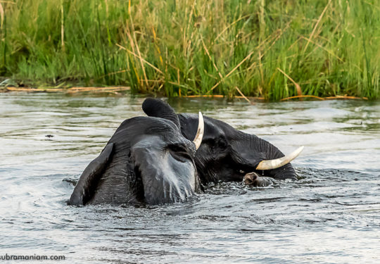 Playing in the water of the Okavango