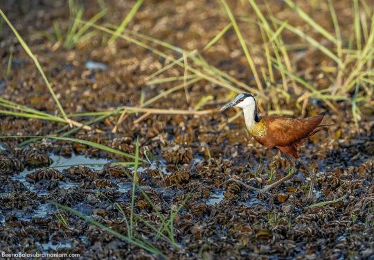 African jacana -Actophilornis africanus