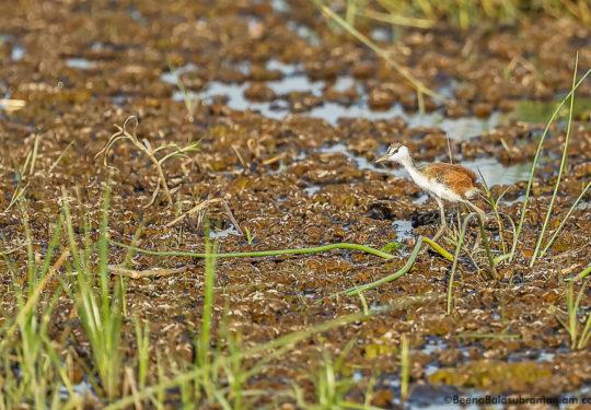 Lesser Jacana - Microparra capensis