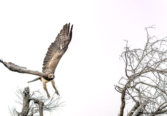 The Martial Eagle - Polemaetus bellicosus Botswana