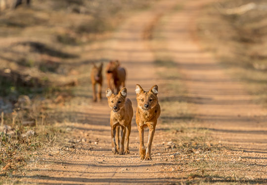 Dholes in kabini