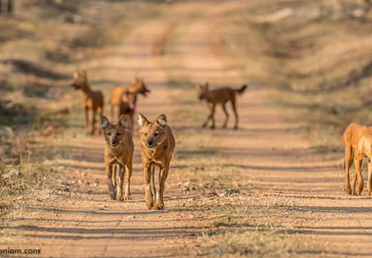 The pack of 11 Dholes in Kabini