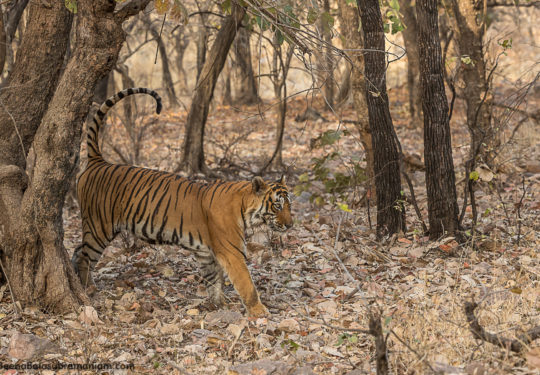 Kumbha T 34 the dominant male of Ranthambore National Park