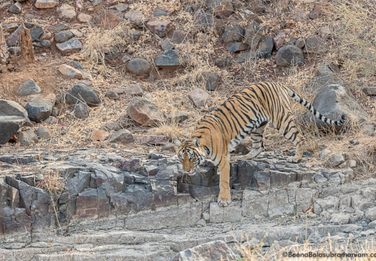 T 8 traverses the rocks in Ranthambore National park