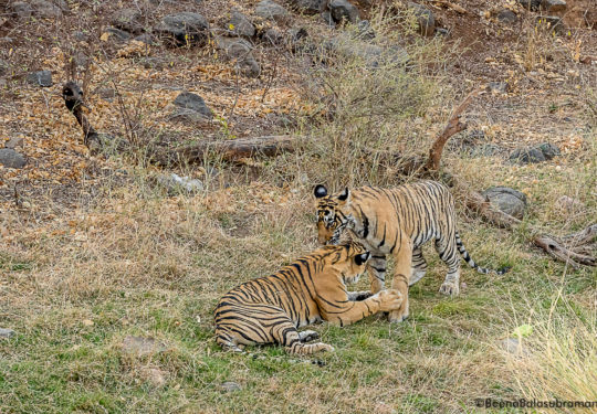 Cubs of T 8 Ranthambore National Park- 2018