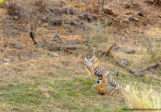 Cubs of T 8  Ranthambore National Park- 2018 -1