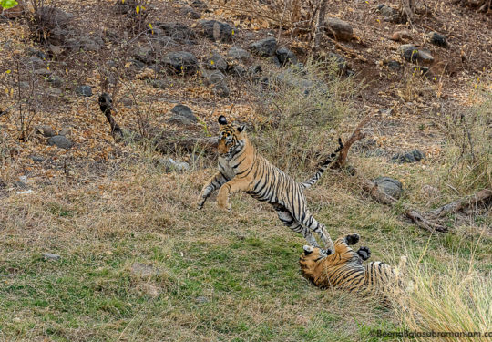 Cubs of T 8 Ranthambore National Park- 2018 -2