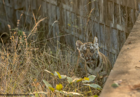 Spotty 2 litter cub January 2019 waiting to cross the bridge
