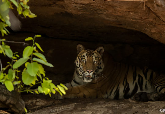 Tigress solo in the cave