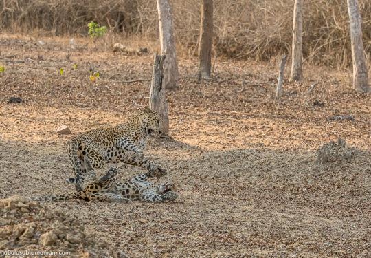 Leopard courtship -3