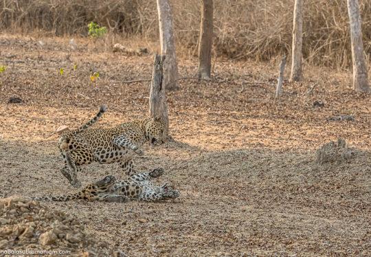 Leopard courtship -4