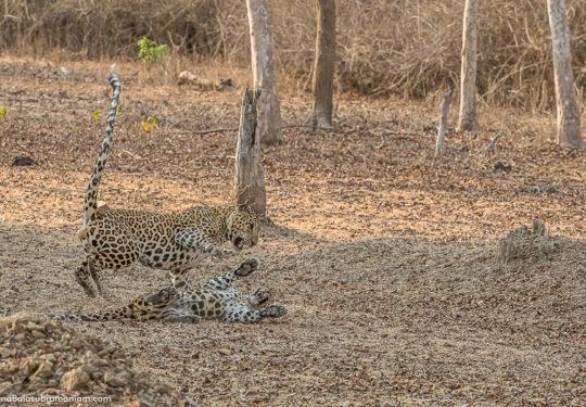 Leopard courtship -5