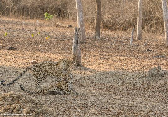 Leopard courtship -7