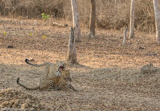 Leopard courtship - 11