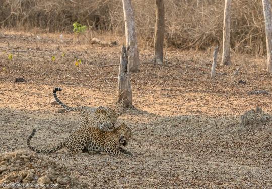 Leopard courtship - 12