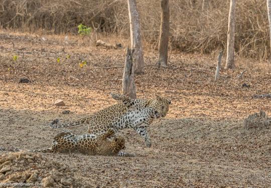 Leopard courtship - 14
