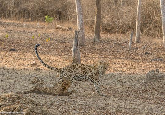 Leopard courtship - 15
