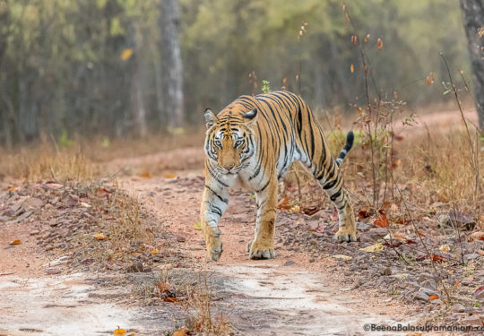 Spotty March 2019 bandhavgarh