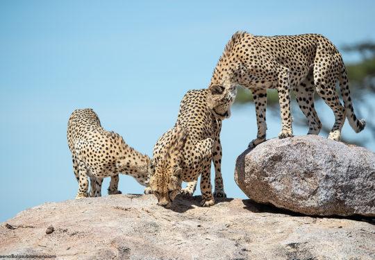 Cheetah Brothers of Namiri