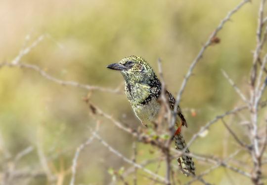 The Usambiro barbet- Trachyphonus darnaudii usambiro
