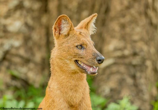 Alpha Female pack of 7 Dhole Kabini May 2019