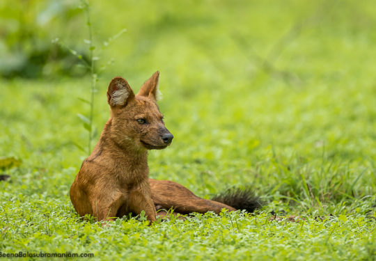 Alpha  female portrait  of a Dhole pack of 7 May 2019