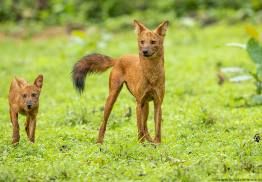 Dhole - alpha female with pup