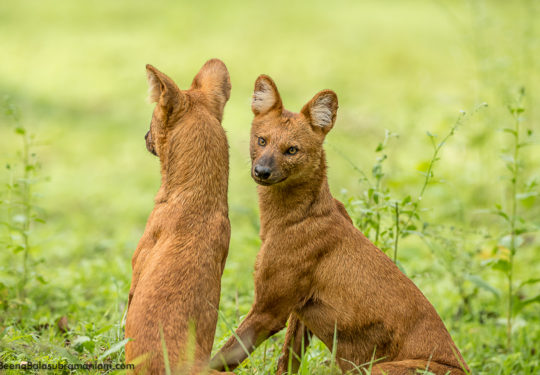Alpha Male and Female pack of 7 Dhole Kabini May 2019