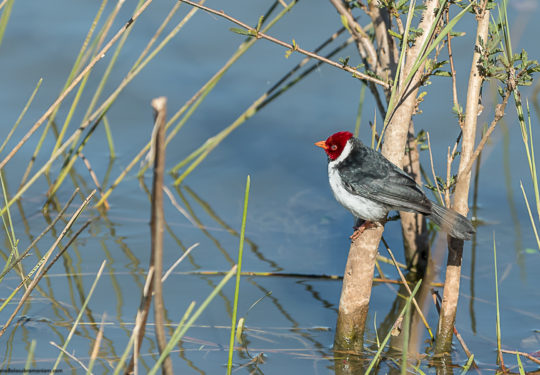 Yellow billed cardinal - Paroaria capitata
