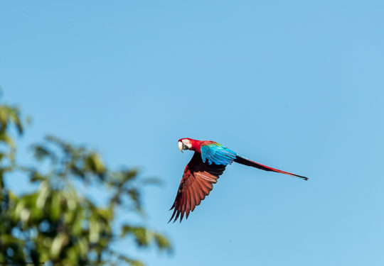 Red and Green macaw - Ara chloropeterus