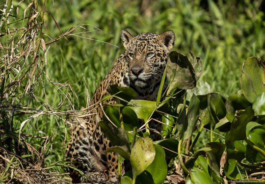 Stalking around the vegetation on the banks of the Cuiaba river